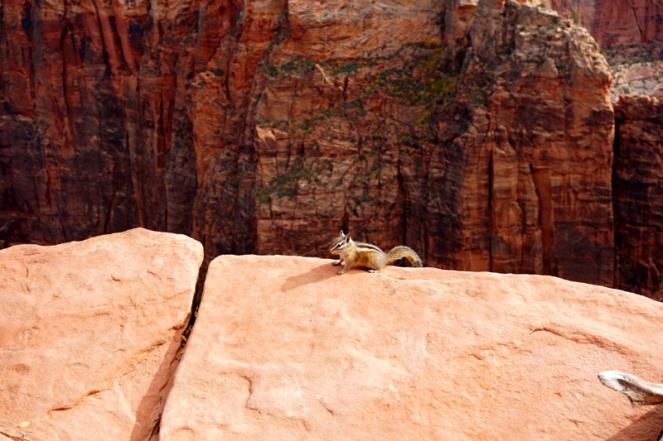 Chipmunk, Angel's Landing hike, Zion National Park, USA