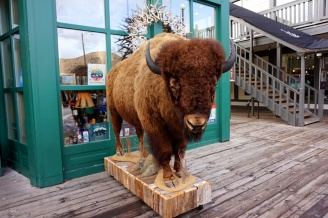 Bison, Jackson Hole, Wyoming, USA