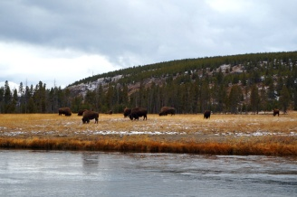 Bison herd, Yellowstone National Park, USA