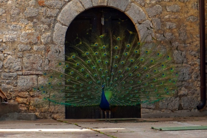 Peacock, St Naum Monastery, Lake Ohrid, North Macedonia