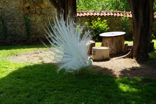 Albino peacock, St Naum Monastery, Lake Ohrid, North Macedonia