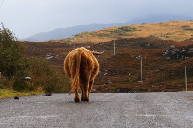 Highland cow between Applecross and Torridon, Scotland