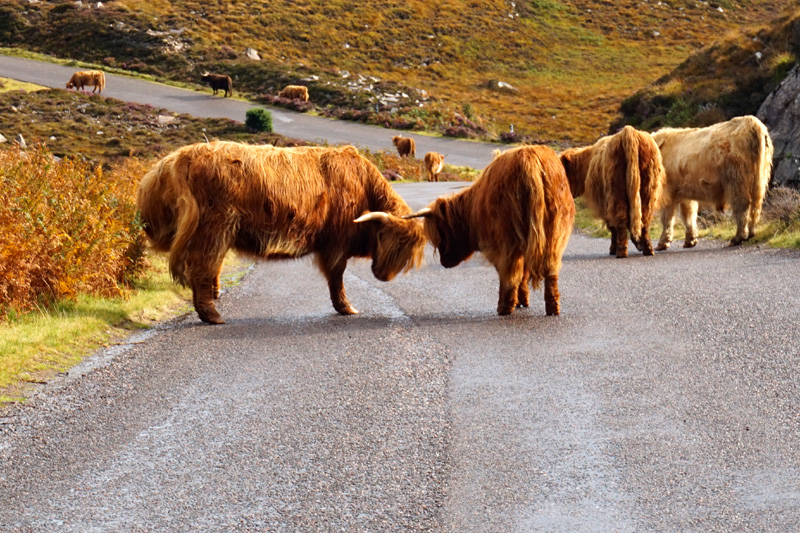 Highland cows, road from Applecross to Torridon, Scotland