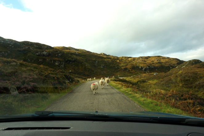 Road to Clashnessie, Scotland, with sheep in the road, North Coast 500 road trip, NC500