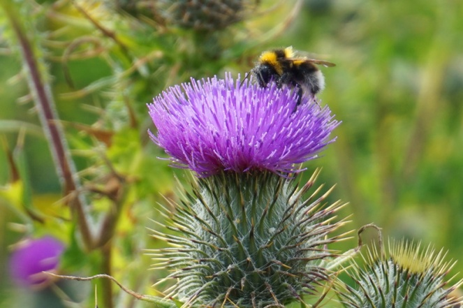 Bee, Rosemarkie, Black Isle, Scotland