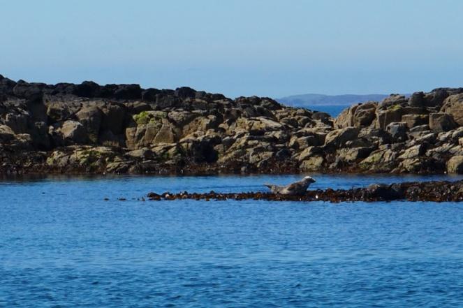 Seal, Isle Of Mull, Scotland