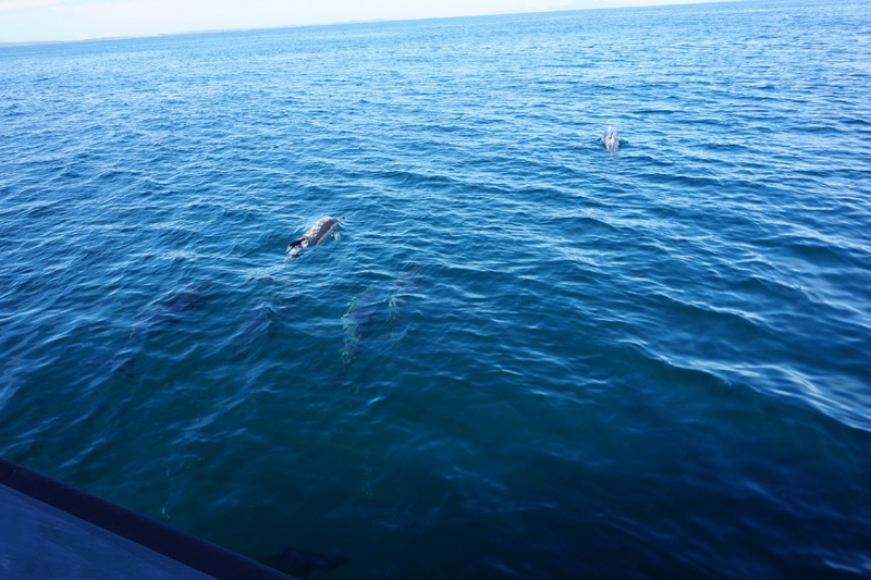 Dolphin, Isle Of Mull, Scotland