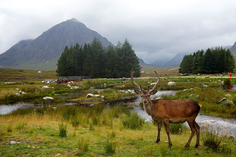 Stag at Kingshouse in Glencoe, Scotland