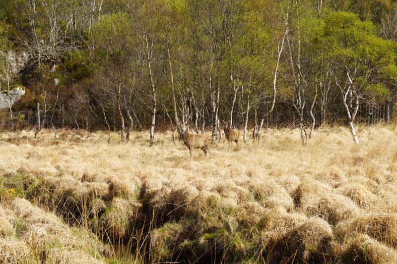 Deer, Assynt, Scotland