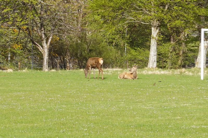 Deer, Lochinver, Assynt, Scotland