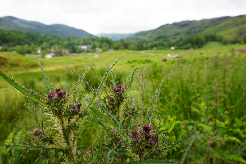 Thistles in the Lake District, England