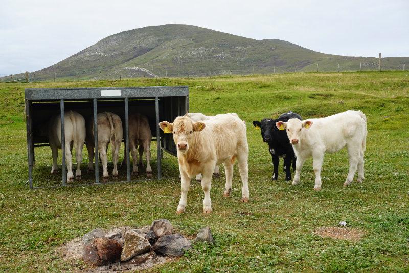 Cows by Scarista beach, Isle Of Harris, Scotland