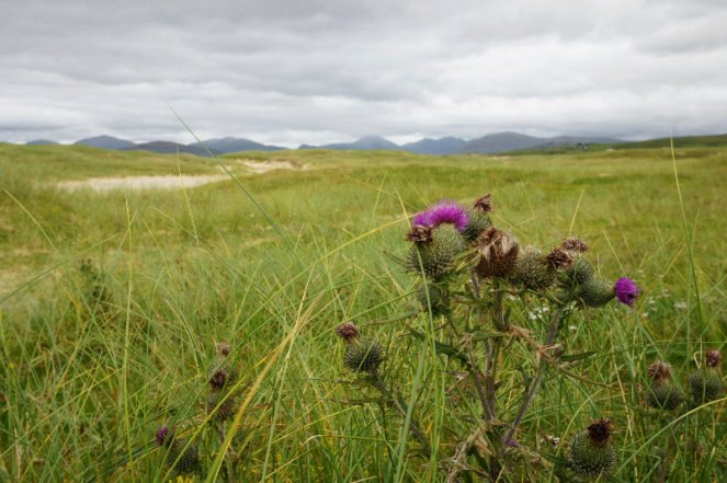 Thistle by the beach on the Isle Of Harris, Scotland