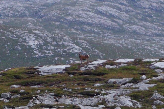 Deer on Isle Of Lewis, Scotland