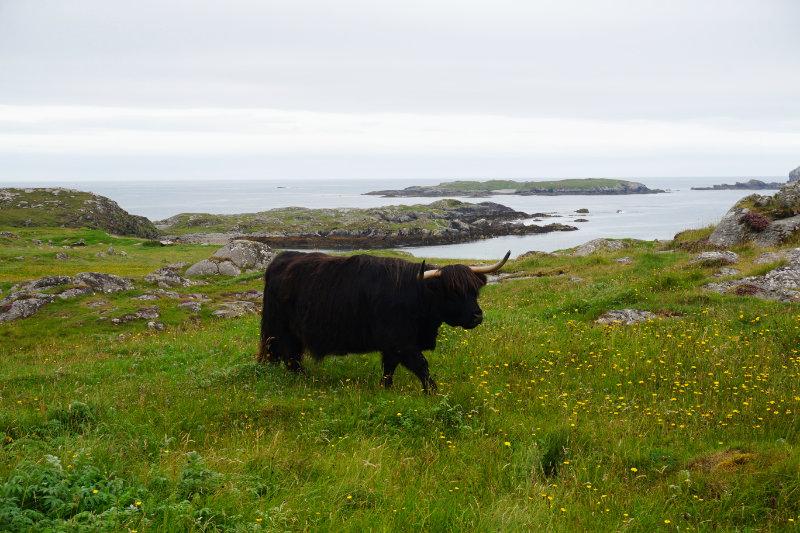 Highland cow, Bosta beach, Great Bernera, Scotland