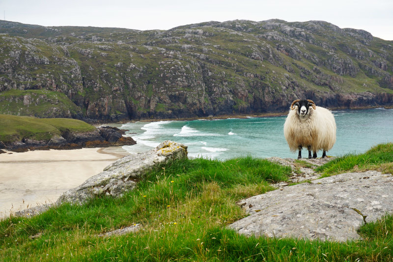 Sheep at Cliff Beach, Isle Of Lewis, Outer Hebrides, Scotland